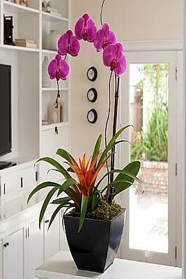 Orkide ve Guzmanya