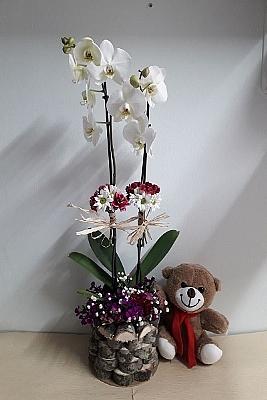 çift dal ve ayıcıklı orkide