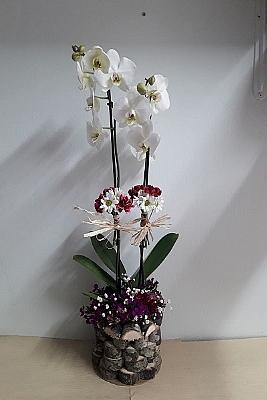 çift dal doğal kütükte orkide