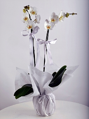 Çift Dal Beyaz Orkide 2